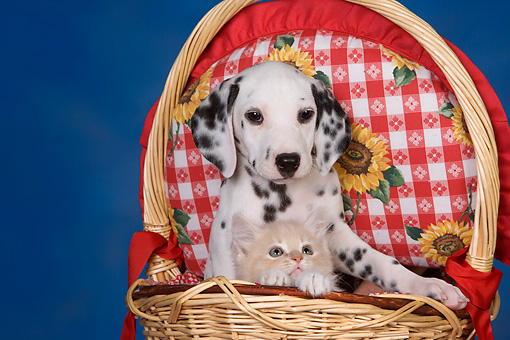 PUP 03 RK0227 01 © Kimball Stock Dalmatian Puppy And Kitten Sitting In Picnic Basket Studio