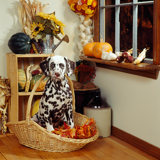 PUP 03 RS0004 03 © Kimball Stock Dalmatian Puppy Sitting In Basket Of Autumn Leaves