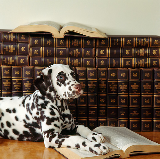 PUP 03 RS0005 01 © Kimball Stock Close-Up Of Dalmatian Laying By Books