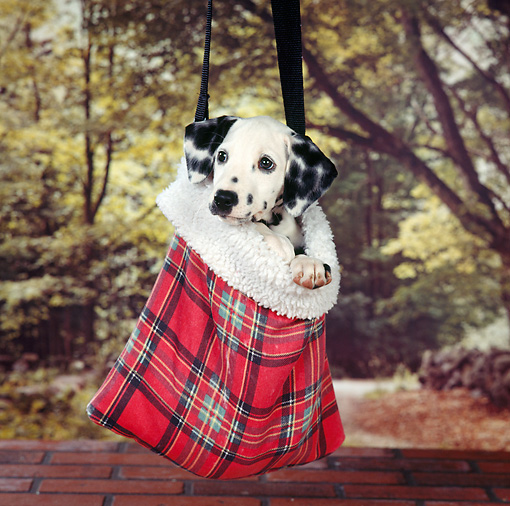 PUP 03 RS0014 03 © Kimball Stock Dalmatian Puppy Peeking From Hanging Pouch Trees Background
