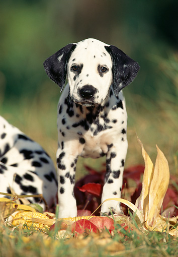 PUP 03 SS0002 01 © Kimball Stock Dalmatian Puppy Standing On Grass By Corn