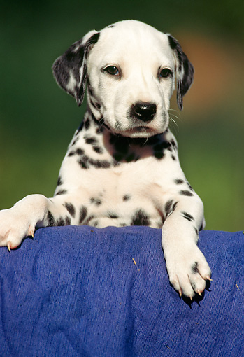 PUP 03 SS0004 01 © Kimball Stock Dalmatian Puppy Standing Over Blue Cloth