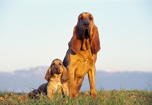 PUP 04 CB0002 01 © Kimball Stock Bloodhound Adult And Puppy Sitting On Grass