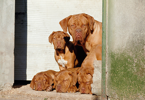 PUP 04 CB0003 01 © Kimball Stock Dogue De Bordeaux Adult And Four Puppies By Garage