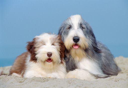 PUP 04 CB0007 01 © Kimball Stock Bearded Collie Adult And Puppy Laying On Sand