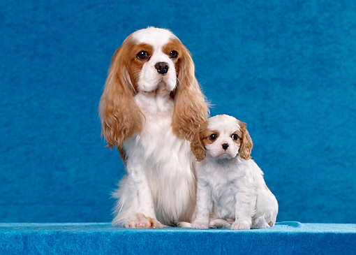 PUP 04 CB0010 01 © Kimball Stock Cavalier King Charles Spaniel Adult And Puppy Sitting In Blue Studio