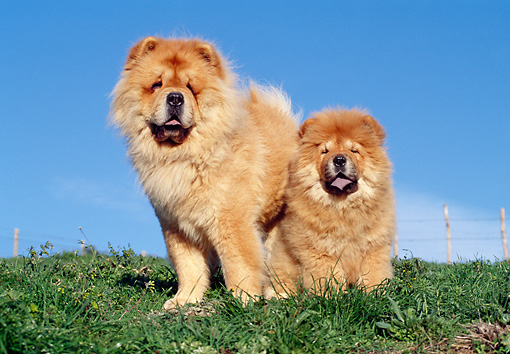 PUP 04 CB0013 01 © Kimball Stock Chow Chow Adult And Puppy On Grass
