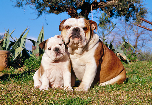 PUP 04 CB0015 01 © Kimball Stock English Bulldog Adult And Puppy Sitting On Grass