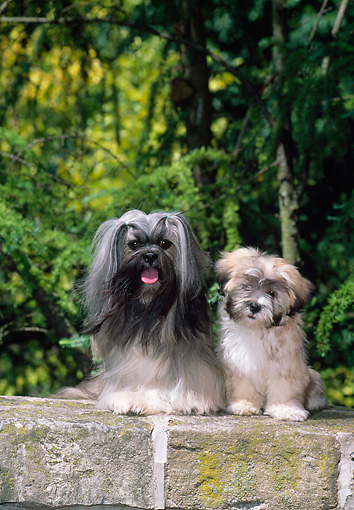 PUP 04 CE0020 01 © Kimball Stock Lhasa Apso Adult And Puppy Sitting On Rock Wall By Trees