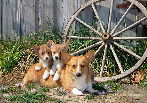 PUP 04 CE0021 01 © Kimball Stock Pembroke Welsh Corgi Mother And Puppies Laying By Flower Petals And Old Wagon Wheel