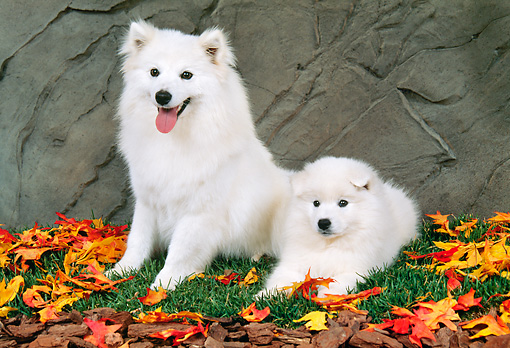 PUP 04 FA0023 01 © Kimball Stock American Eskimo Mother And Puppy Laying On Grass With Fallen Leaves