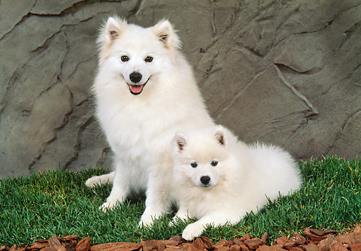 PUP 04 FA0024 01 © Kimball Stock American Eskimo Mother And Puppy Laying On Grass
