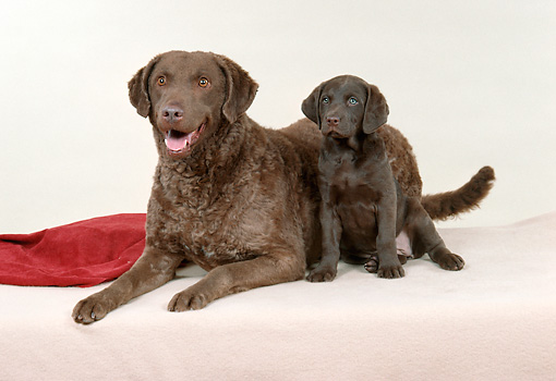 PUP 04 FA0028 01 © Kimball Stock Chesapeake Bay Retriever Mother And Puppy On White Carpet Studio