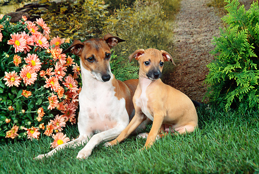 PUP 04 FA0032 01 © Kimball Stock Italian Greyhound Adult And Puppy On Grass By Daisies