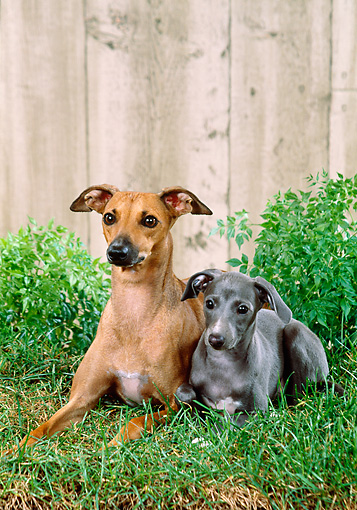 PUP 04 FA0033 01 © Kimball Stock Italian Greyhound Adult And Puppy Laying On Grass By Fence
