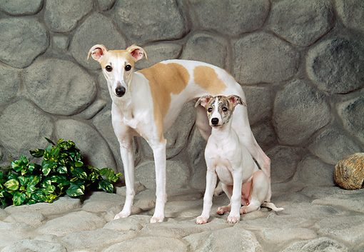 PUP 04 FA0034 01 © Kimball Stock Whippet Adult And Puppy On Cobblestone