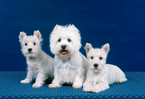 PUP 04 FA0035 01 © Kimball Stock West Highland Terrier Adult And Puppies Sitting In Studio