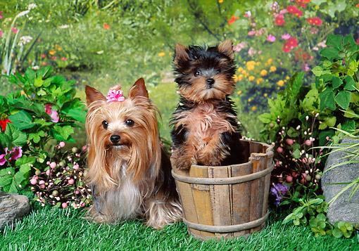 PUP 04 FA0036 01 © Kimball Stock Yorkshire Terrier Adult And Puppy Sitting In Garden