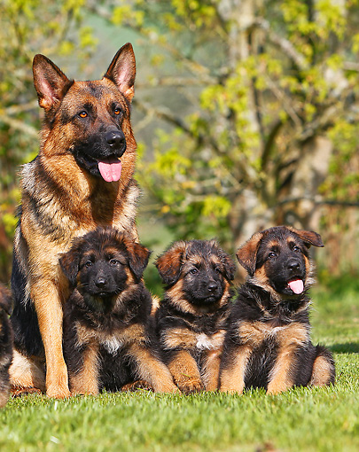 PUP 04 GL0001 01 © Kimball Stock German Shepherd Mother Sitting With Three Puppies On Grass