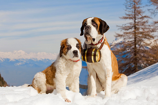 PUP 04 JE0001 01 © Kimball Stock Saint Bernard Adult And Puppy Sitting In Snow By Mountains