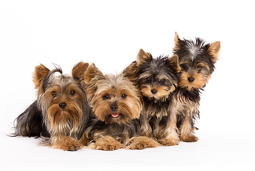 PUP 04 JE0002 01 © Kimball Stock Yorkshire Terriers Laying And Sitting On White Seamless