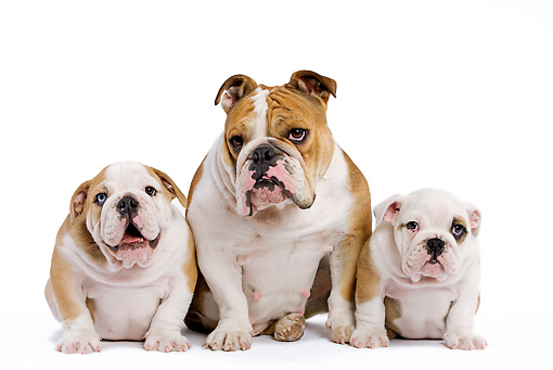 PUP 04 JE0006 01 © Kimball Stock English Bulldog Mother And Puppy Sitting On White Seamless