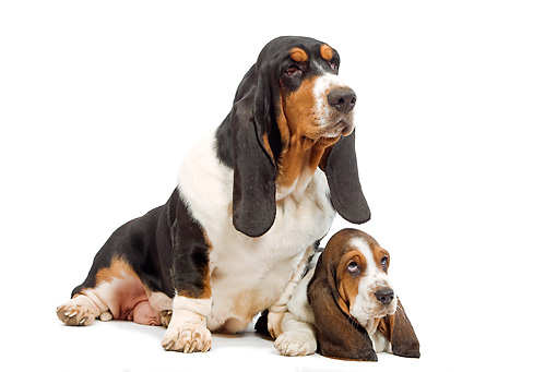 PUP 04 JE0008 01 © Kimball Stock Basset Hound Mother And Puppy Sitting On White Seamless
