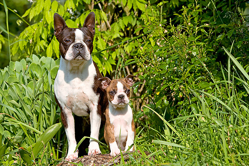 PUP 04 JE0010 01 © Kimball Stock Boston Terrier Adult And Puppy Standing On Log