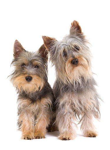 PUP 04 JE0017 01 © Kimball Stock Silky Terrier Puppy And Adult Sitting On White Seamless