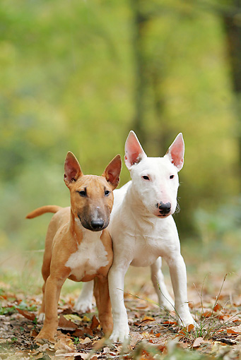 PUP 04 JE0018 01 © Kimball Stock Miniature Bull Terrier Puppy And Adult Standing In Woods