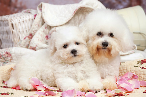 PUP 04 JE0019 01 © Kimball Stock Bichon Frise Adult And Puppy Laying On Quilt And Rose Petals