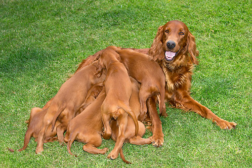 PUP 04 JE0022 01 © Kimball Stock Irish Setter Mother Nursing Puppies