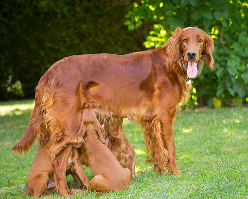 PUP 04 JE0023 01 © Kimball Stock Irish Setter Mother Nursing Puppies
