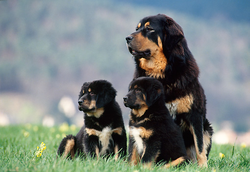PUP 04 KH0019 01 © Kimball Stock Tibetan Mastiff Adult And Puppies Sitting In Grass