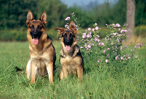 PUP 04 KH0023 01 © Kimball Stock German Shepherd Adult And Puppy Sitting In Field By Pink Flowers
