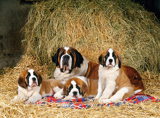 PUP 04 KH0027 01 © Kimball Stock Saint Bernard Mother And Puppies Laying In Hay