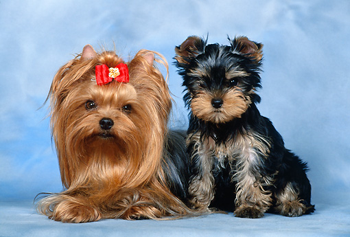PUP 04 KH0028 01 © Kimball Stock Yorkshire Terrier Adult And Puppy Sitting In Studio