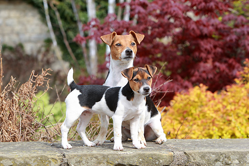 PUP 04 NR0002 01 © Kimball Stock Jack Russell Terrier Adult And Puppy On Stone Ledge