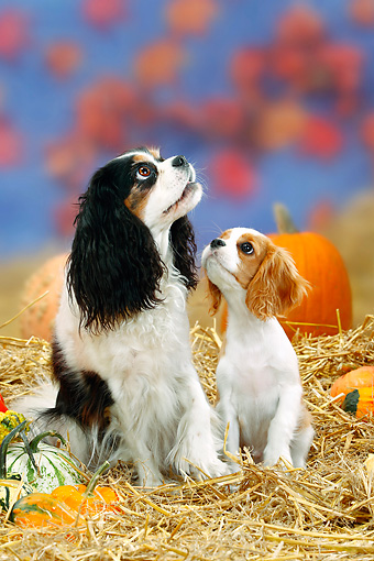 PUP 04 PE0004 01 © Kimball Stock Cavalier King Charles Spaniel And Puppy Sitting In Hay By Pumpkins And Gourds