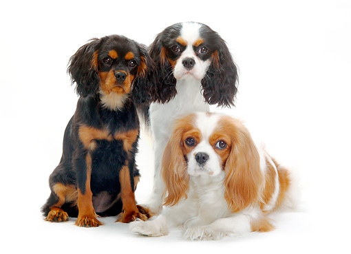 PUP 04 PE0005 01 © Kimball Stock Cavalier King Charles Spaniel Adult And Puppies On White Seamless