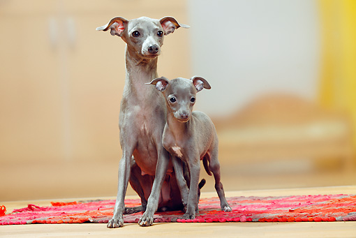 PUP 04 PE0007 01 © Kimball Stock Italian Greyhound Mother With Puppy On Rug