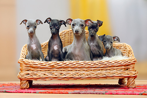 PUP 04 PE0008 01 © Kimball Stock Italian Greyhound Mother With Puppies Sitting On Wicker Chair