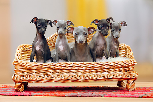 PUP 04 PE0009 01 © Kimball Stock Italian Greyhound Mother With Puppies Sitting On Wicker Chair