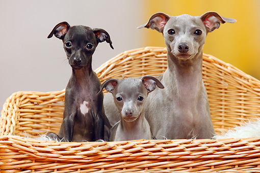 PUP 04 PE0010 01 © Kimball Stock Italian Greyhound Mother With Puppies Sitting On Wicker Chair