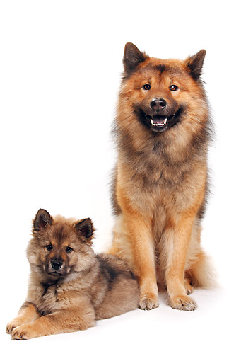 PUP 04 PE0011 01 © Kimball Stock Eurasier Adult And Puppy On White Seamless