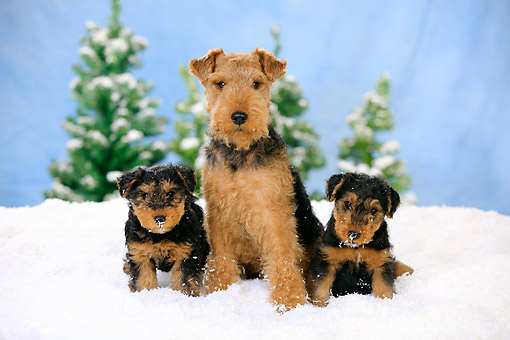 PUP 04 PE0016 01 © Kimball Stock Welsh Terrier Mother With Two Puppies Sitting In Snow