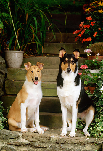 PUP 04 CE0002 01 © Kimball Stock Smooth Collie Mother And Puppy Sitting On Stone Steps By Flowers