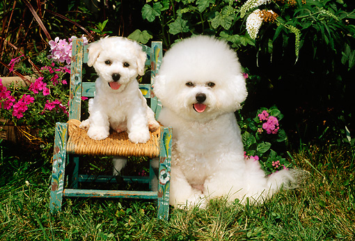 PUP 04 CE0004 01 © Kimball Stock Bichon Frise Mother Sitting On Grass By Puppy Sitting On Wooden Chair By Flowers