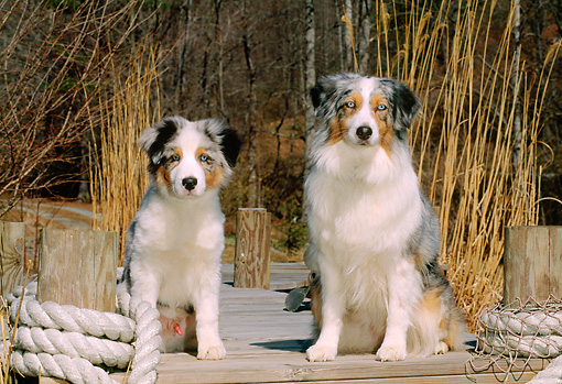 PUP 04 CE0006 01 © Kimball Stock Australian Shepherd Mother And Puppy Sitting On Dock By Tall Grass
