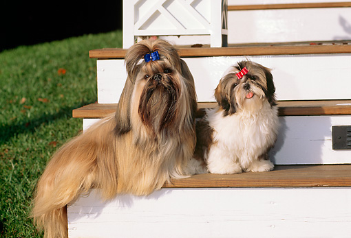PUP 04 CE0007 01 © Kimball Stock Shih Tzu Adult Male And Puppy Female Sitting On Porch Step By Grass